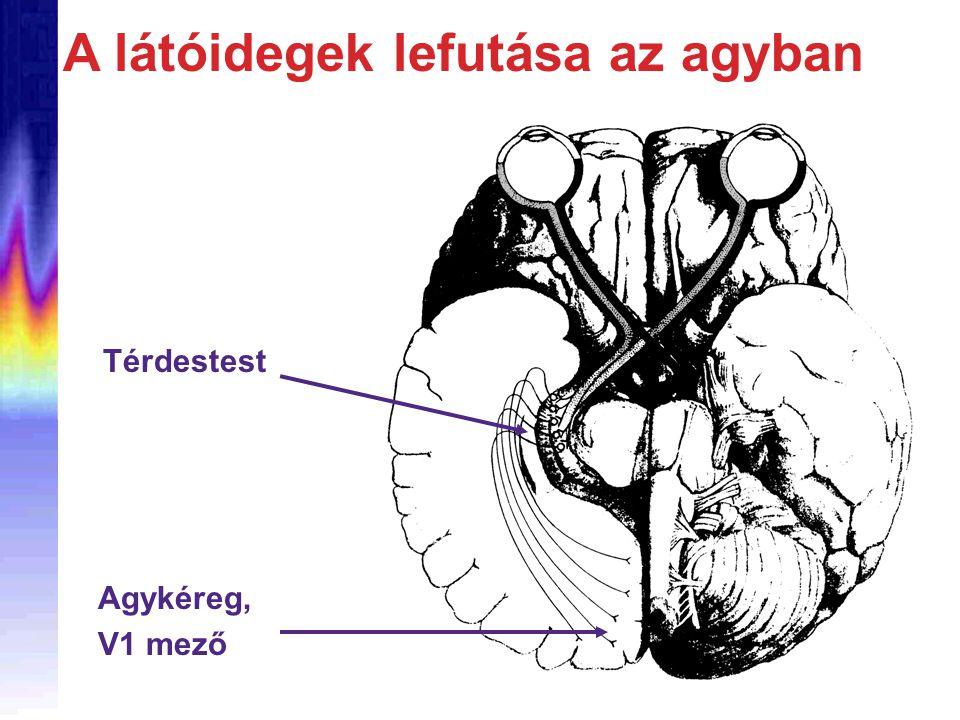 A látóidegek lefutása az agyban