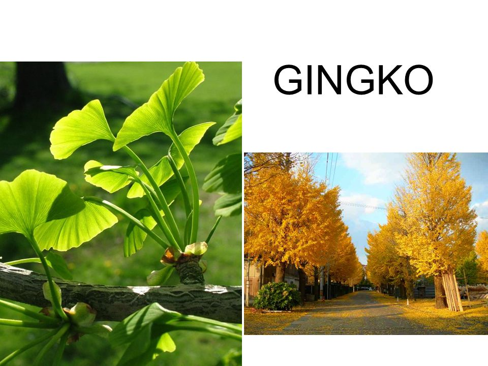 GINGKO