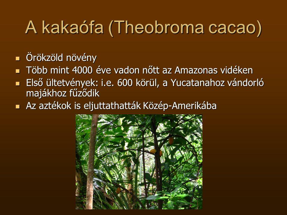 A kakaófa (Theobroma cacao)