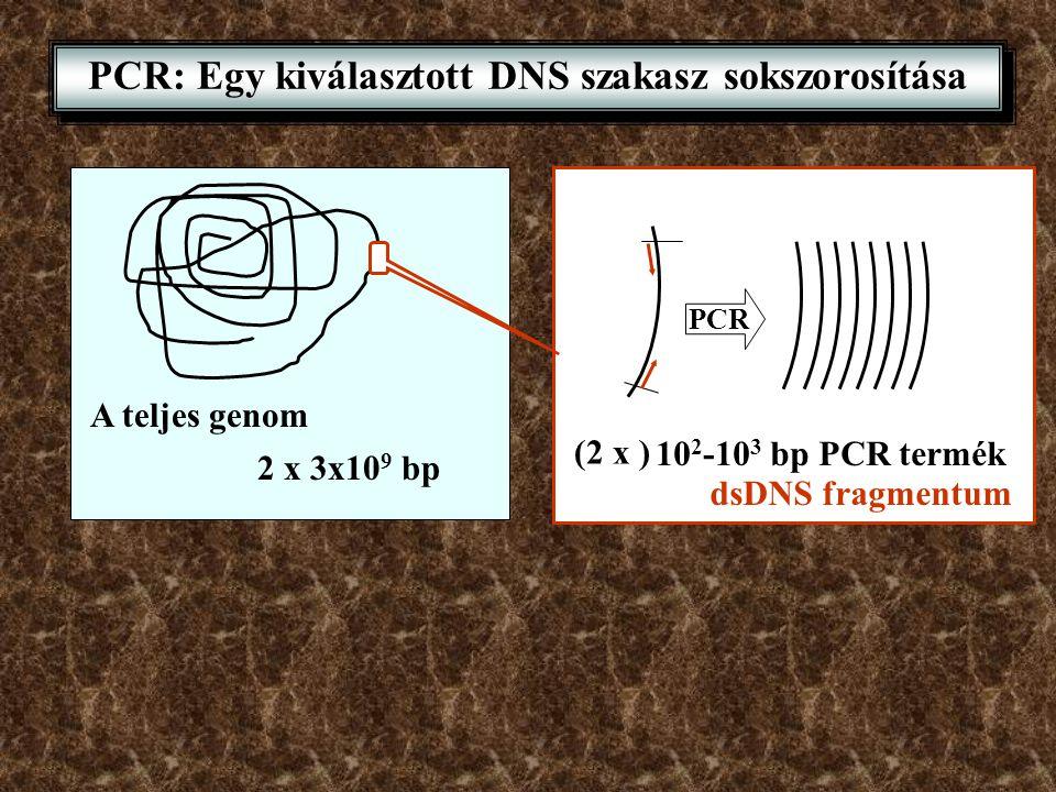 PCR: Egy kiválasztott DNS szakasz sokszorosítása