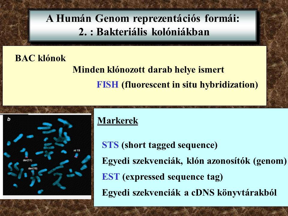 A Humán Genom reprezentációs formái: 2. : Bakteriális kolóniákban