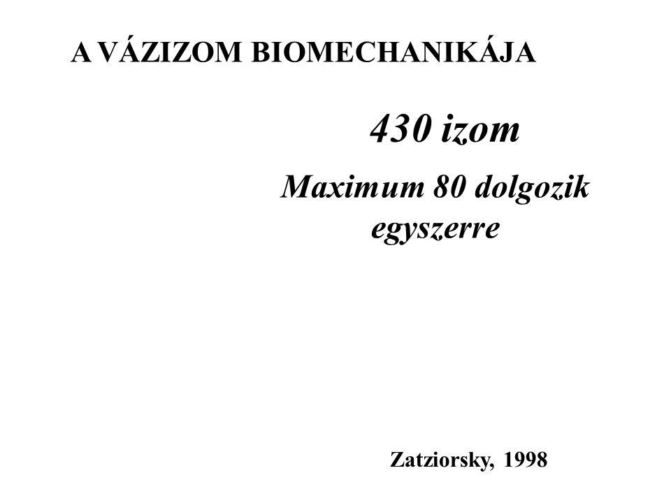 A VÁZIZOM BIOMECHANIKÁJA Maximum 80 dolgozik egyszerre