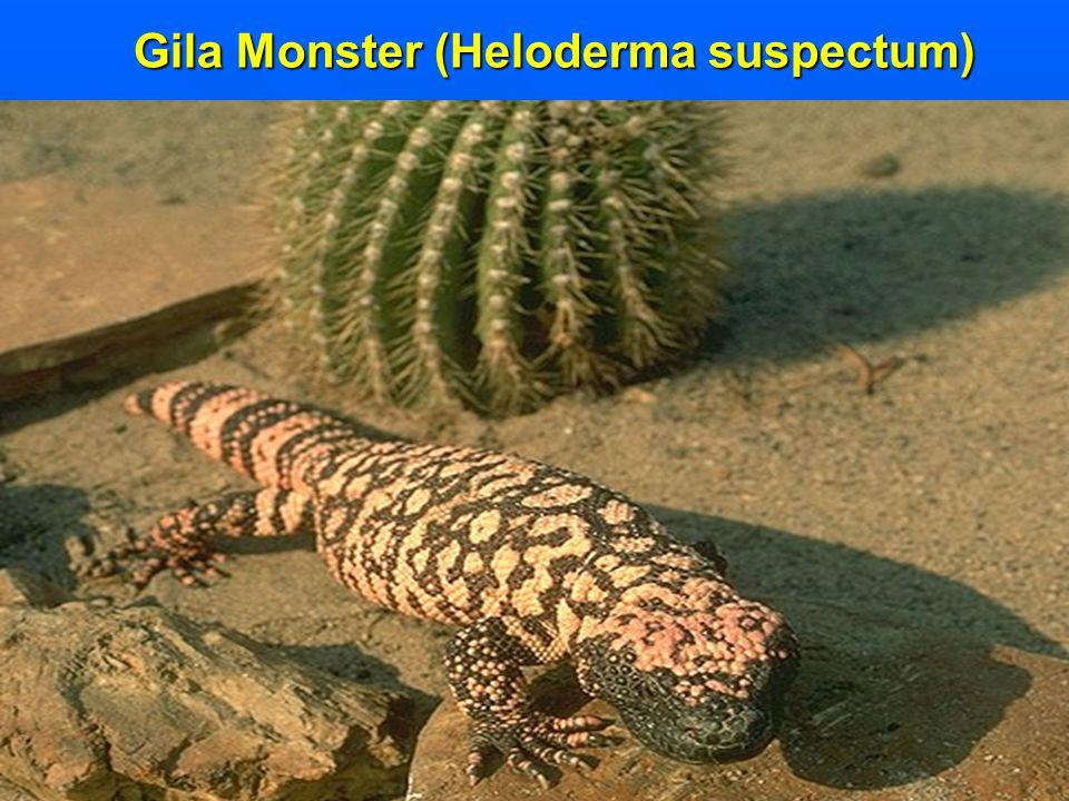 Gila Monster (Heloderma suspectum)