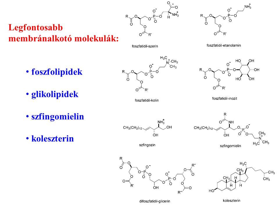 Legfontosabb membránalkotó molekulák: foszfolipidek glikolipidek szfingomielin koleszterin