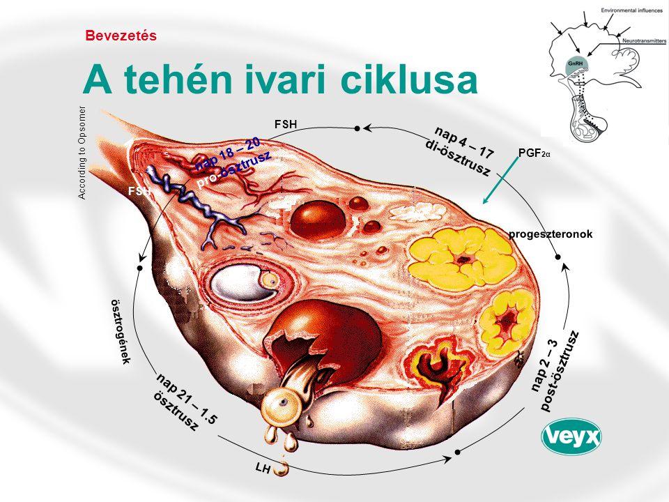 A tehén ivari ciklusa Bevezetés nap 4 – 17 di-ösztrusz