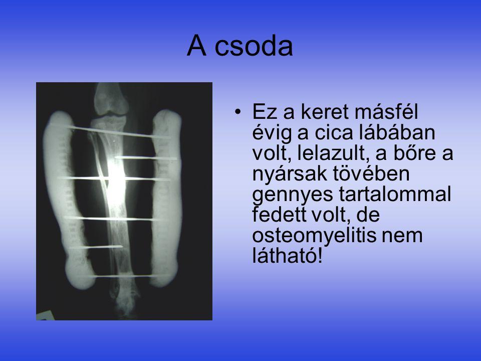 A csoda Ez a keret másfél évig a cica lábában volt, lelazult, a bőre a nyársak tövében gennyes tartalommal fedett volt, de osteomyelitis nem látható!