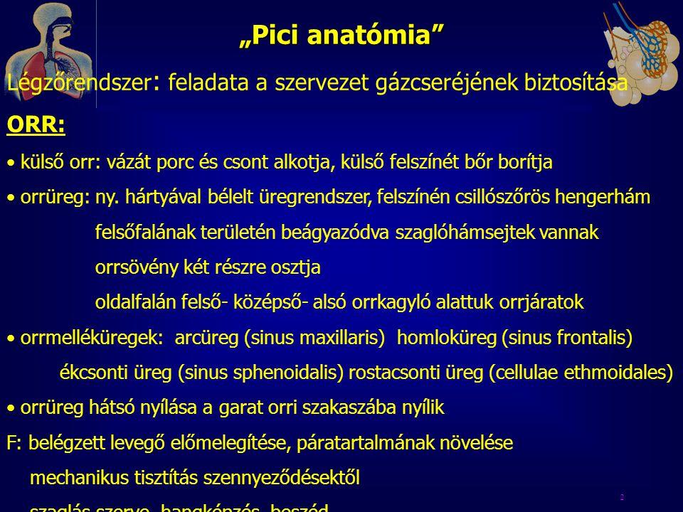 """""""Pici anatómia Légzőrendszer: feladata a szervezet gázcseréjének biztosítása. ORR:"""