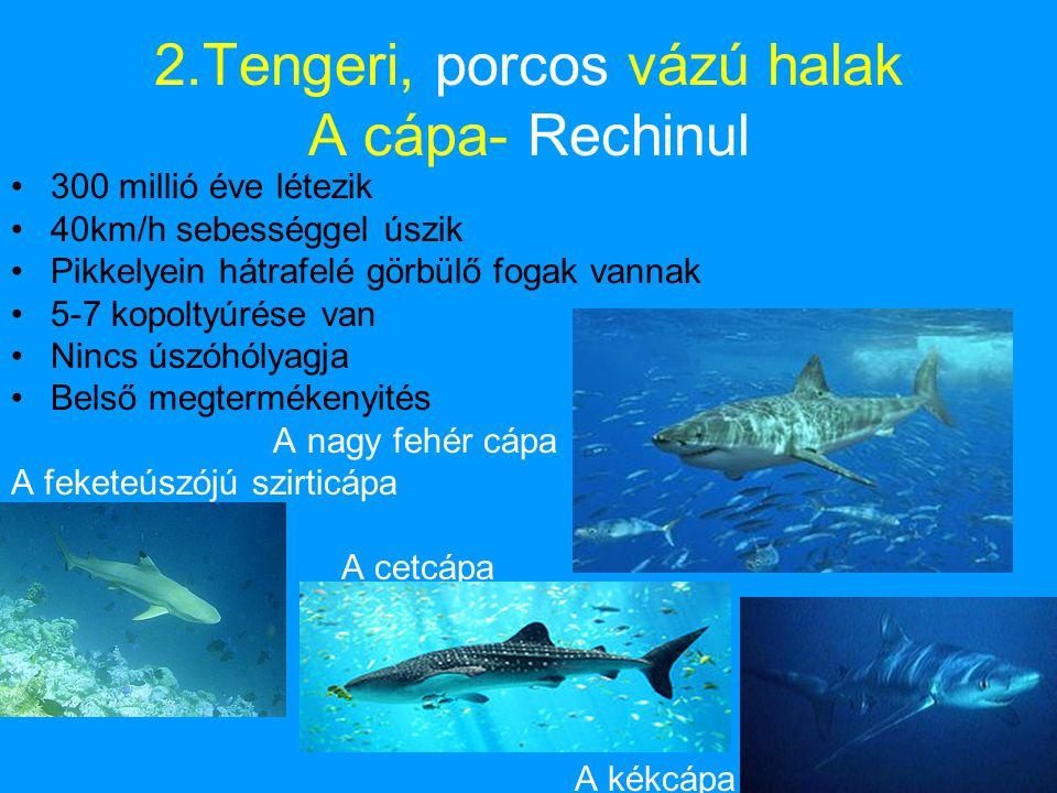 2.Tengeri, porcos vázú halak A cápa- Rechinul