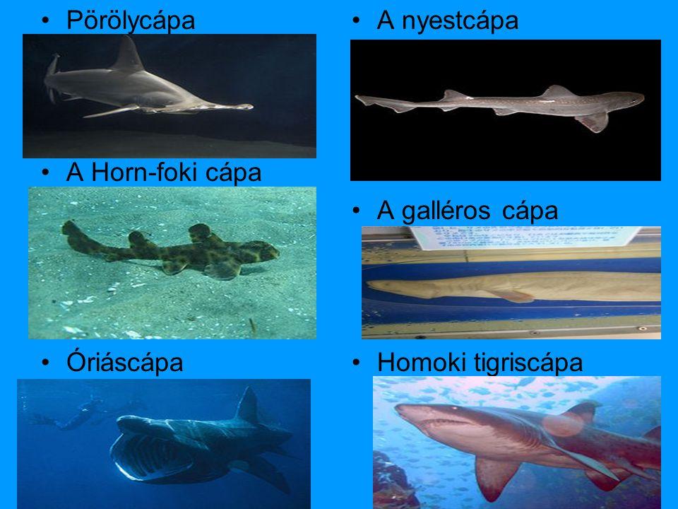 Pörölycápa A Horn-foki cápa Óriáscápa A nyestcápa A galléros cápa Homoki tigriscápa