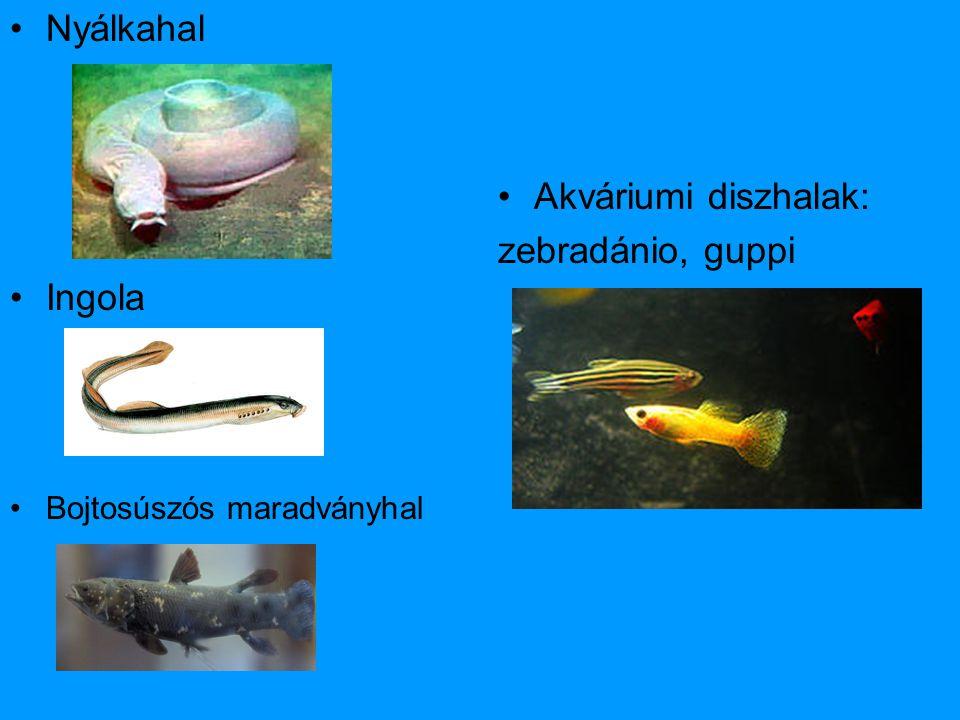 Nyálkahal Ingola Akváriumi diszhalak: zebradánio, guppi