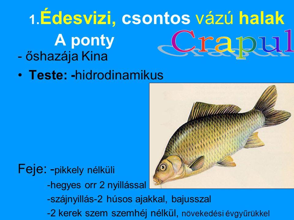 1.Édesvizi, csontos vázú halak A ponty