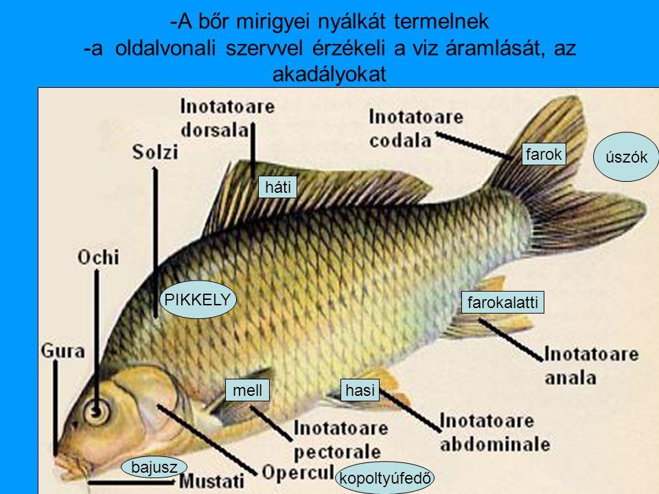 -A bőr mirigyei nyálkát termelnek -a oldalvonali szervvel érzékeli a viz áramlását, az akadályokat