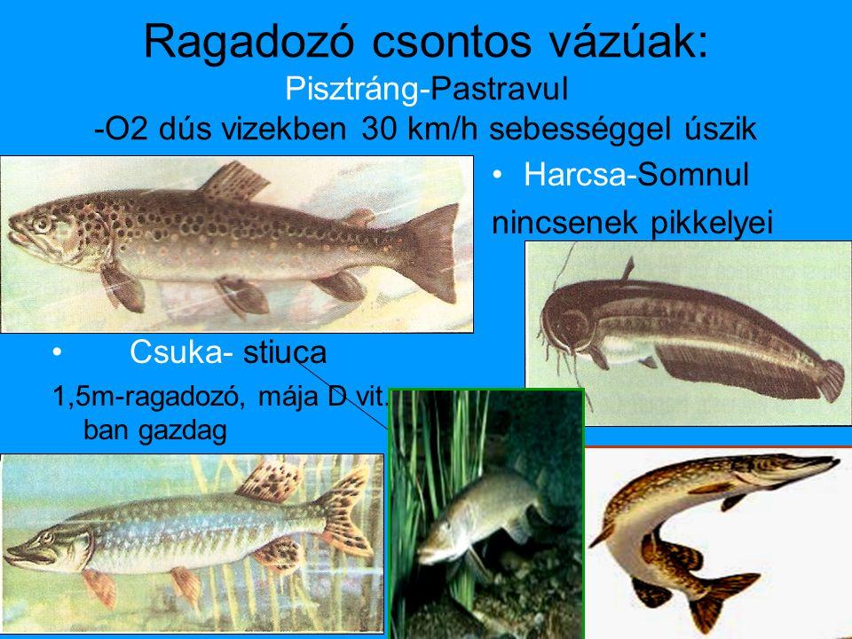 Ragadozó csontos vázúak: Pisztráng-Pastravul -O2 dús vizekben 30 km/h sebességgel úszik