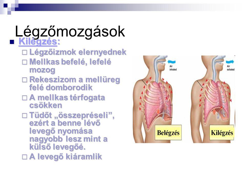 Légzőmozgások Kilégzés: Légzőizmok elernyednek