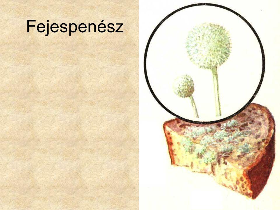 Fejespenész Simon-Csapodi: Kis növényhatározó, Tankönyvkiadó