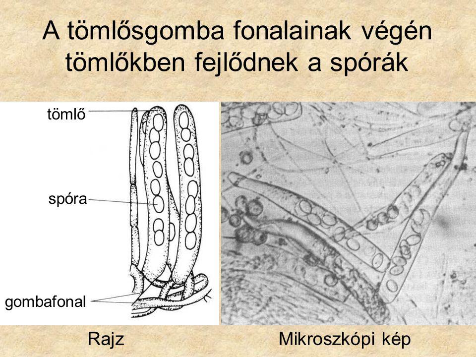 A tömlősgomba fonalainak végén tömlőkben fejlődnek a spórák