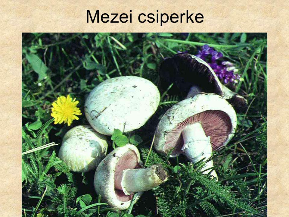 Mezei csiperke Magyarország gombái CD, Kossuth Kiadó és ComCom Bt.