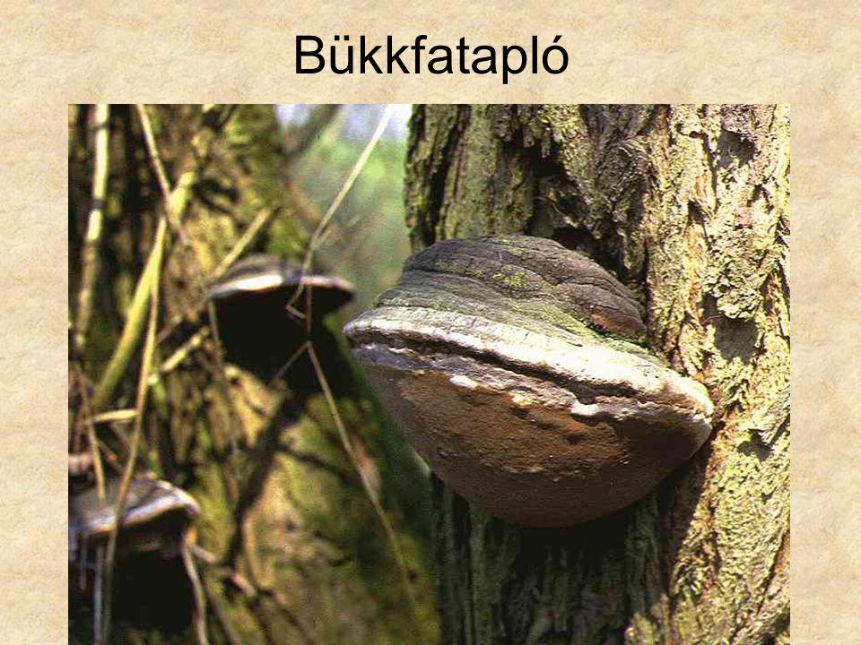 Bükkfatapló Magyarország gombái CD, Kossuth Kiadó és ComCom Bt.