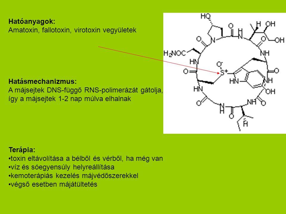 Hatóanyagok: Amatoxin, fallotoxin, virotoxin vegyületek