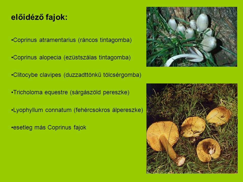 előidéző fajok: Coprinus atramentarius (ráncos tintagomba)