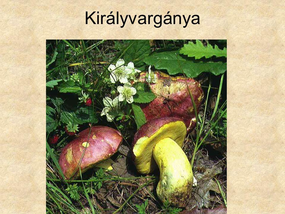 Királyvargánya Magyarország gombái CD, Kossuth Kiadó és ComCom Bt.