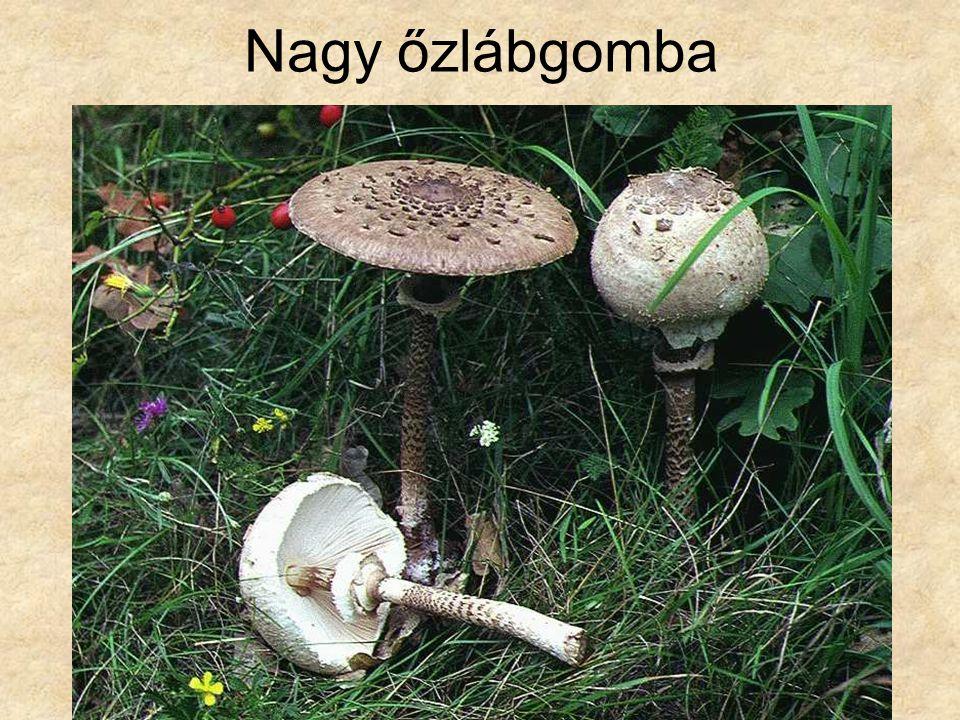 Nagy őzlábgomba Magyarország gombái CD, Kossuth Kiadó és ComCom Bt.