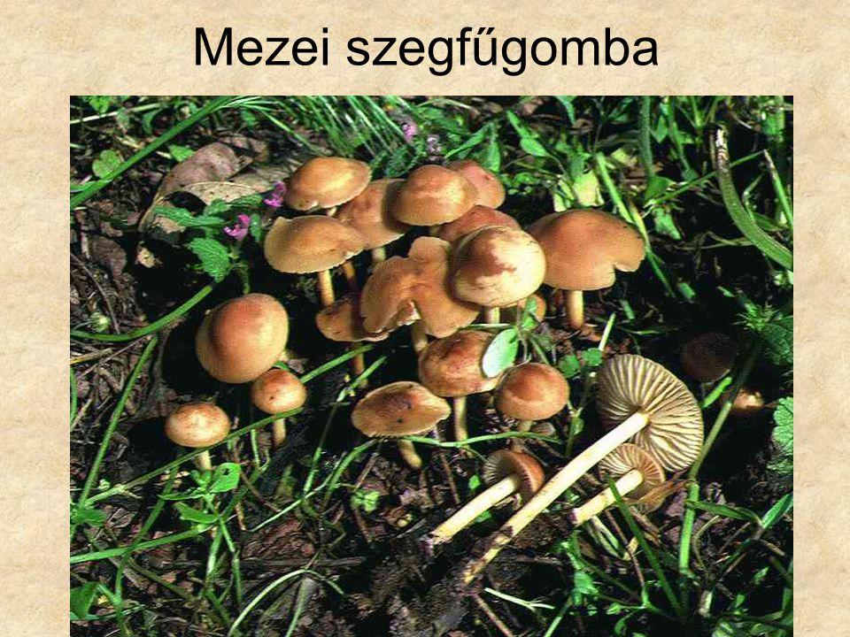 Mezei szegfűgomba Magyarország gombái CD, Kossuth Kiadó és ComCom Bt.