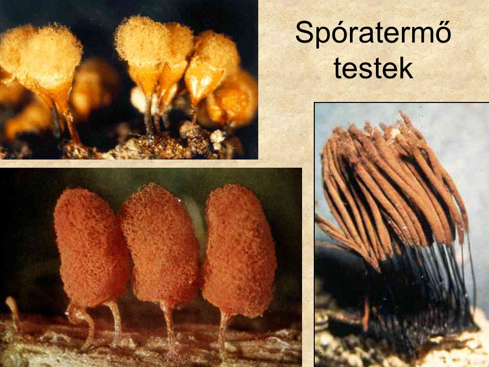 Spóratermő testek Felső és jobb oldali kép: Botanika CD, Kossuth Kiadó