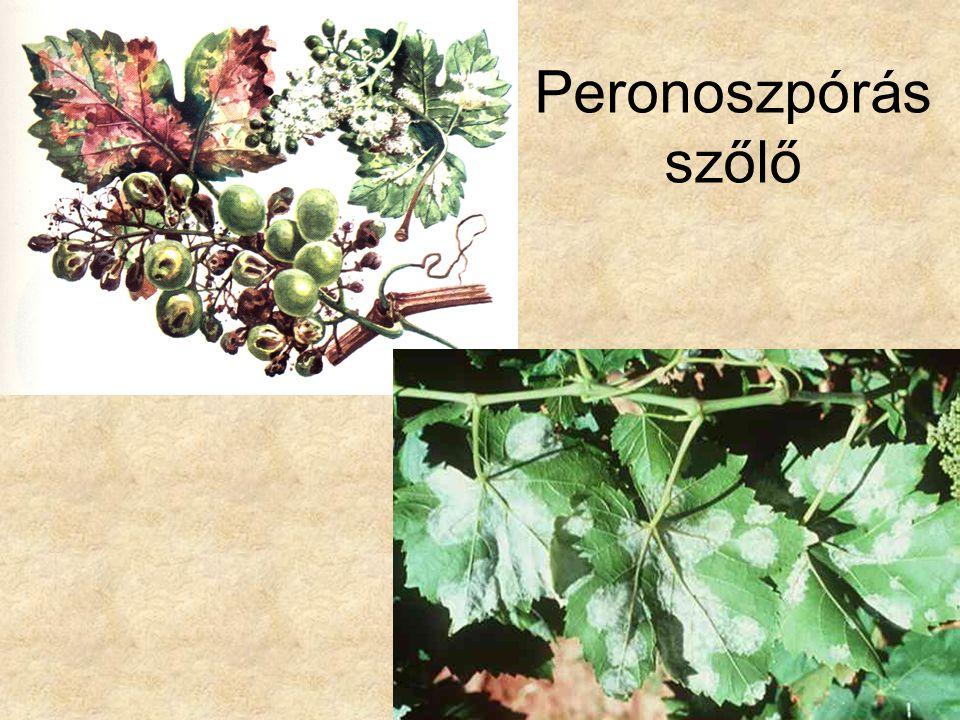 Peronoszpórás szőlő Bal oldali kép: Dr. Hortobágyi: Növényrendszertan, Tankönyvkiadó, 1979.