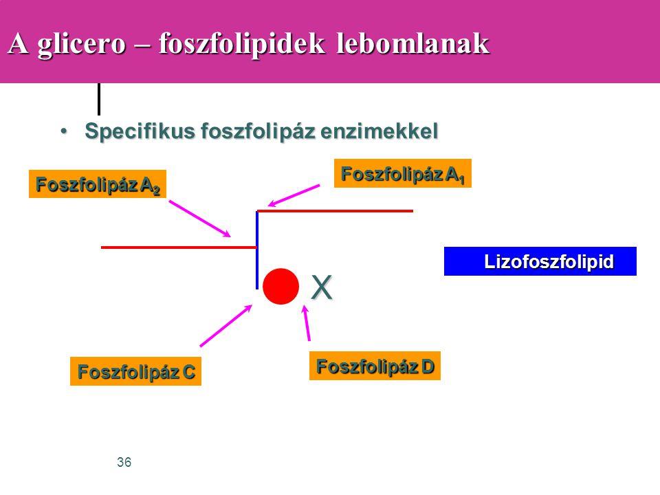 A glicero – foszfolipidek lebomlanak