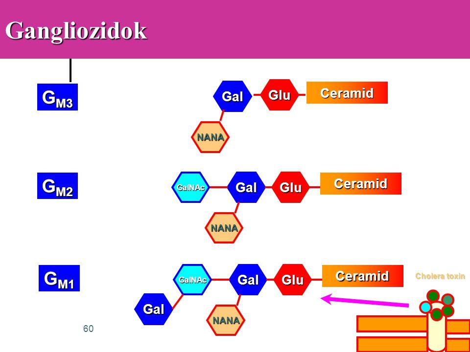 Gangliozidok GM3 GM2 GM1 Glu Gal Ceramid Gal Glu Ceramid Gal Glu