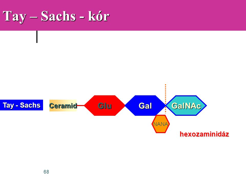 Tay – Sachs - kór Glu Gal GalNAc Tay - Sachs Ceramid hexozaminidáz