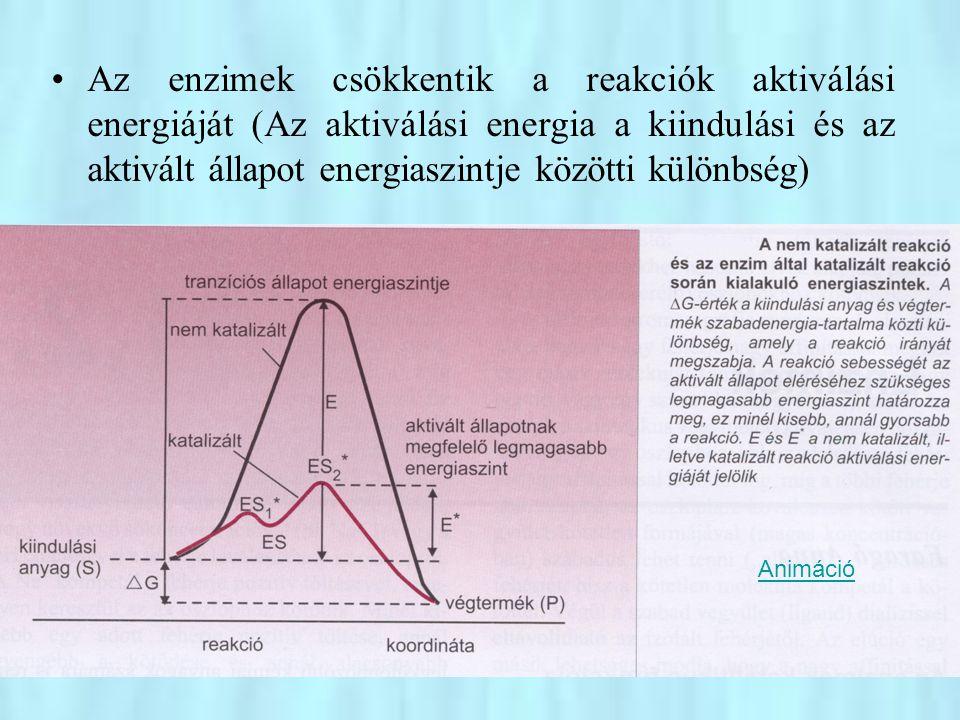 Az enzimek csökkentik a reakciók aktiválási energiáját (Az aktiválási energia a kiindulási és az aktivált állapot energiaszintje közötti különbség)