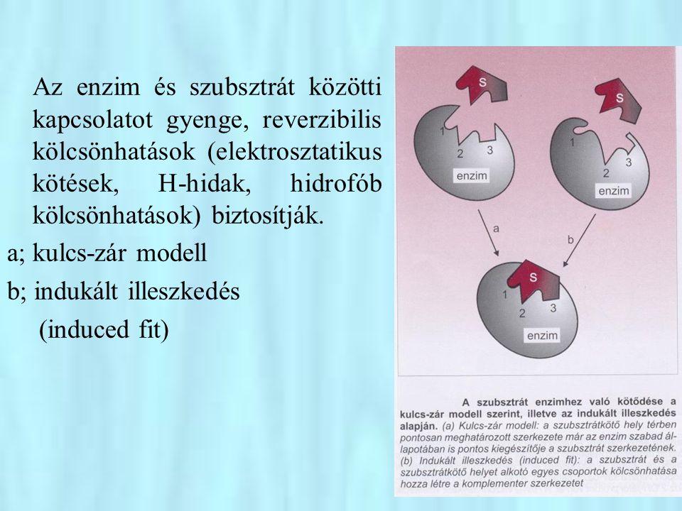 Az enzim és szubsztrát közötti kapcsolatot gyenge, reverzibilis kölcsönhatások (elektrosztatikus kötések, H-hidak, hidrofób kölcsönhatások) biztosítják.