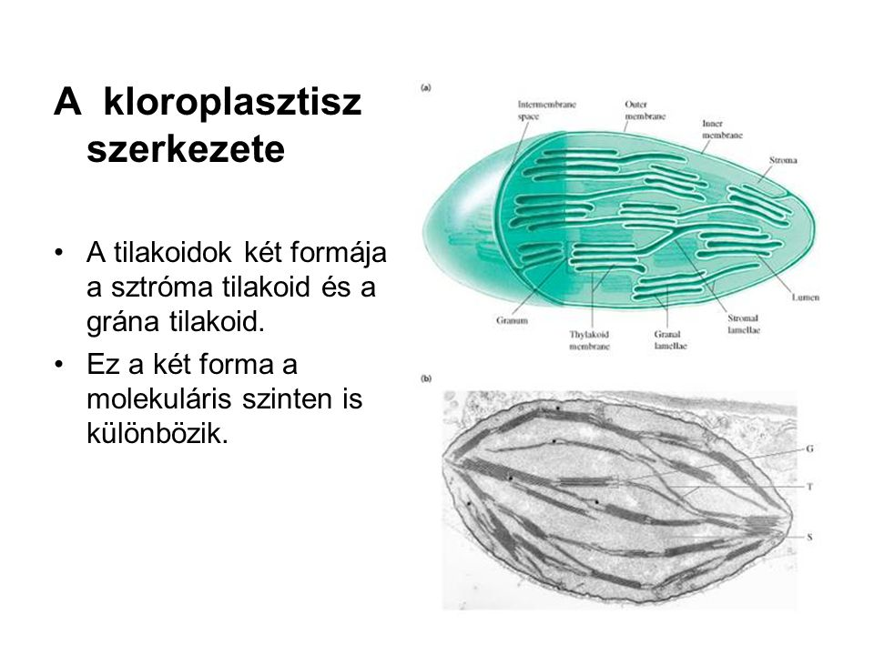 A kloroplasztisz szerkezete