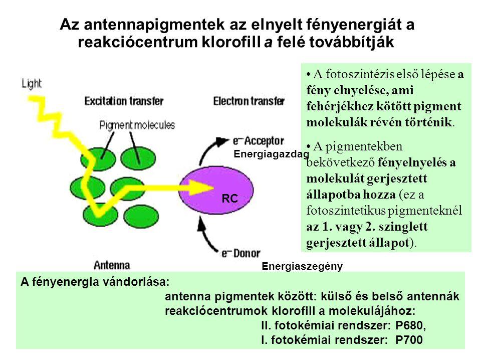 Az antennapigmentek az elnyelt fényenergiát a reakciócentrum klorofill a felé továbbítják