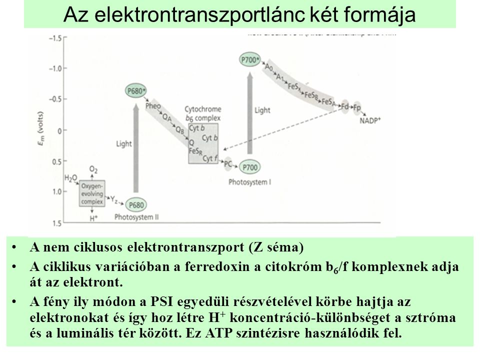 Az elektrontranszportlánc két formája