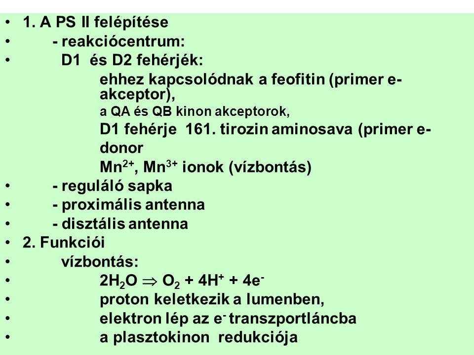 ehhez kapcsolódnak a feofitin (primer e- akceptor),