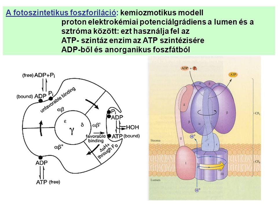 A fotoszintetikus foszforiláció: kemiozmotikus modell