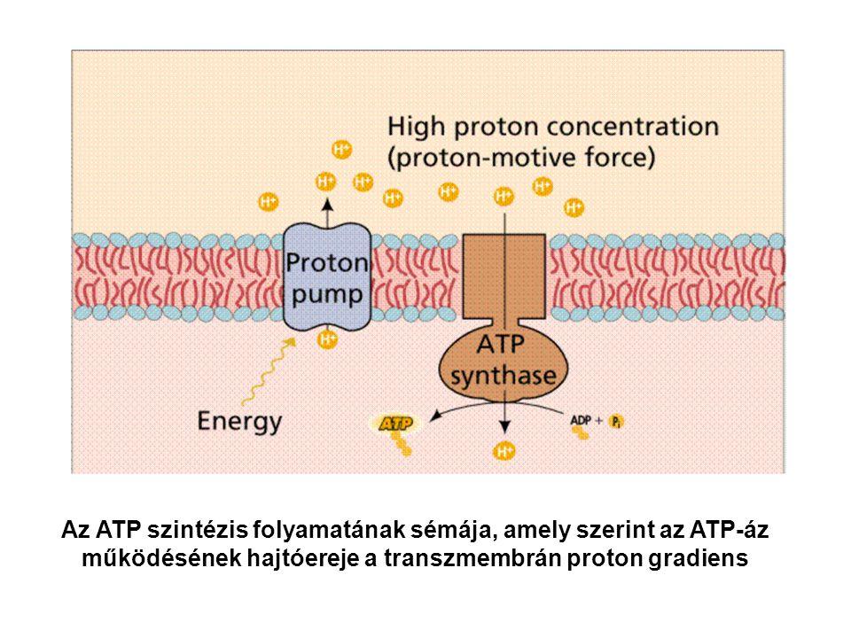 Az ATP szintézis folyamatának sémája, amely szerint az ATP-áz működésének hajtóereje a transzmembrán proton gradiens