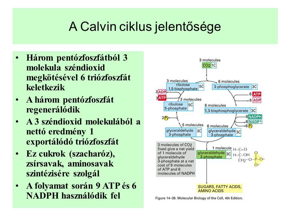 A Calvin ciklus jelentősége