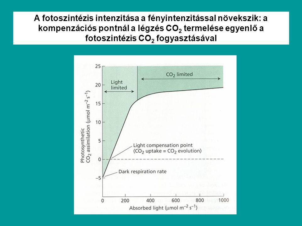 A fotoszintézis intenzitása a fényintenzitással növekszik: a kompenzációs pontnál a légzés CO2 termelése egyenlő a fotoszintézis CO2 fogyasztásával