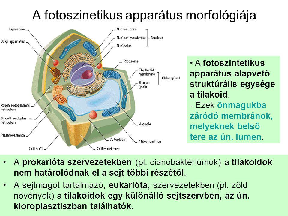A fotoszinetikus apparátus morfológiája