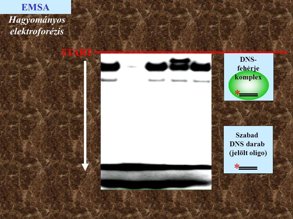 * * EMSA Hagyományos elektroforézis START DNS-fehérje komplex Szabad