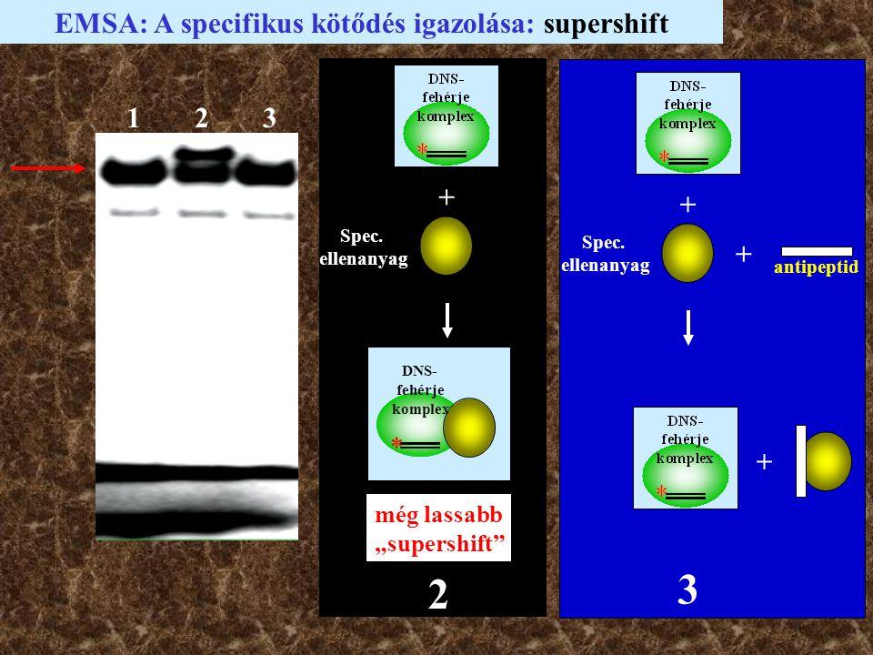 EMSA: A specifikus kötődés igazolása: supershift