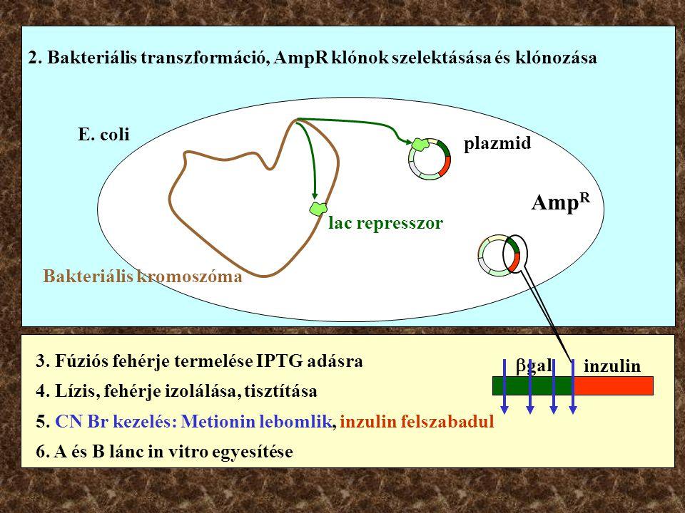 2. Bakteriális transzformáció, AmpR klónok szelektásása és klónozása