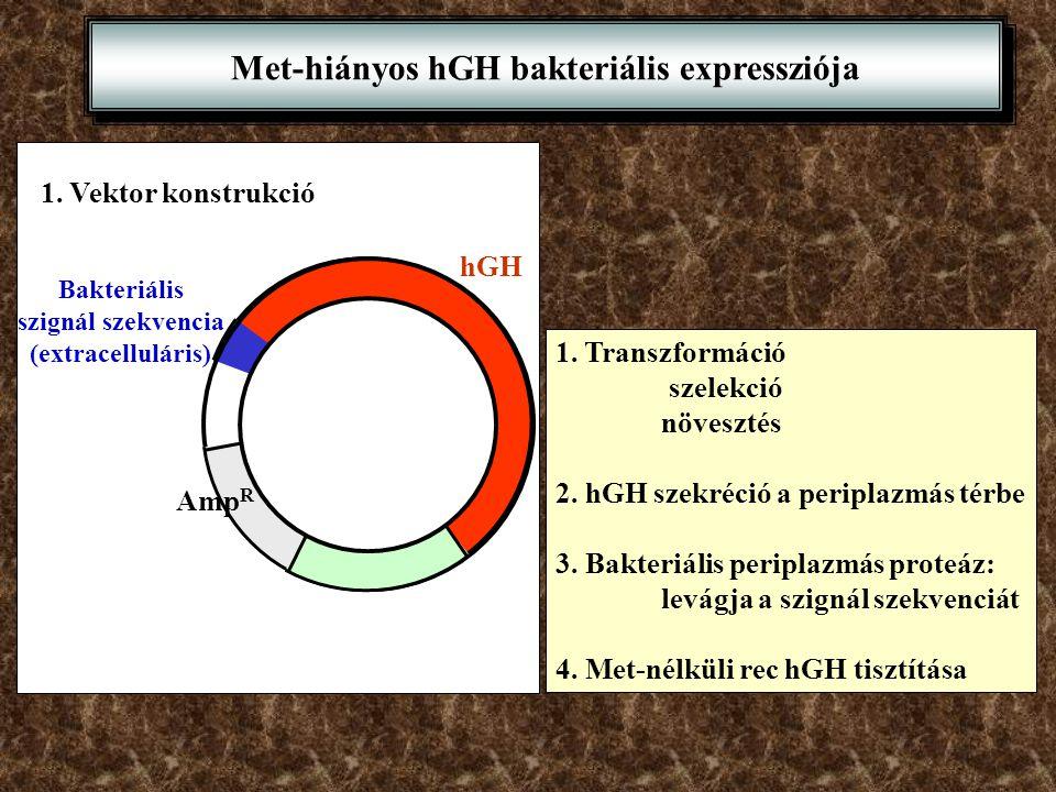 Met-hiányos hGH bakteriális expressziója