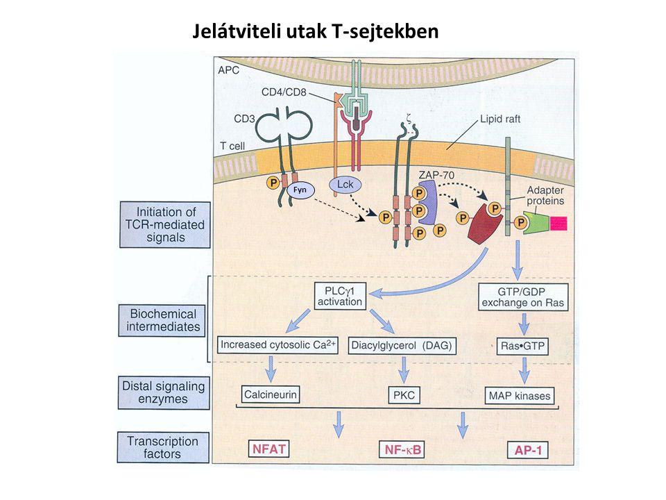 Jelátviteli utak T-sejtekben