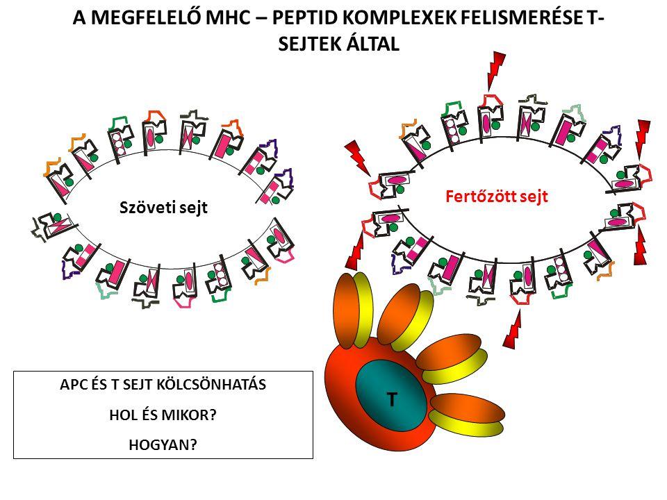 A MEGFELELŐ MHC – PEPTID KOMPLEXEK FELISMERÉSE T-SEJTEK ÁLTAL