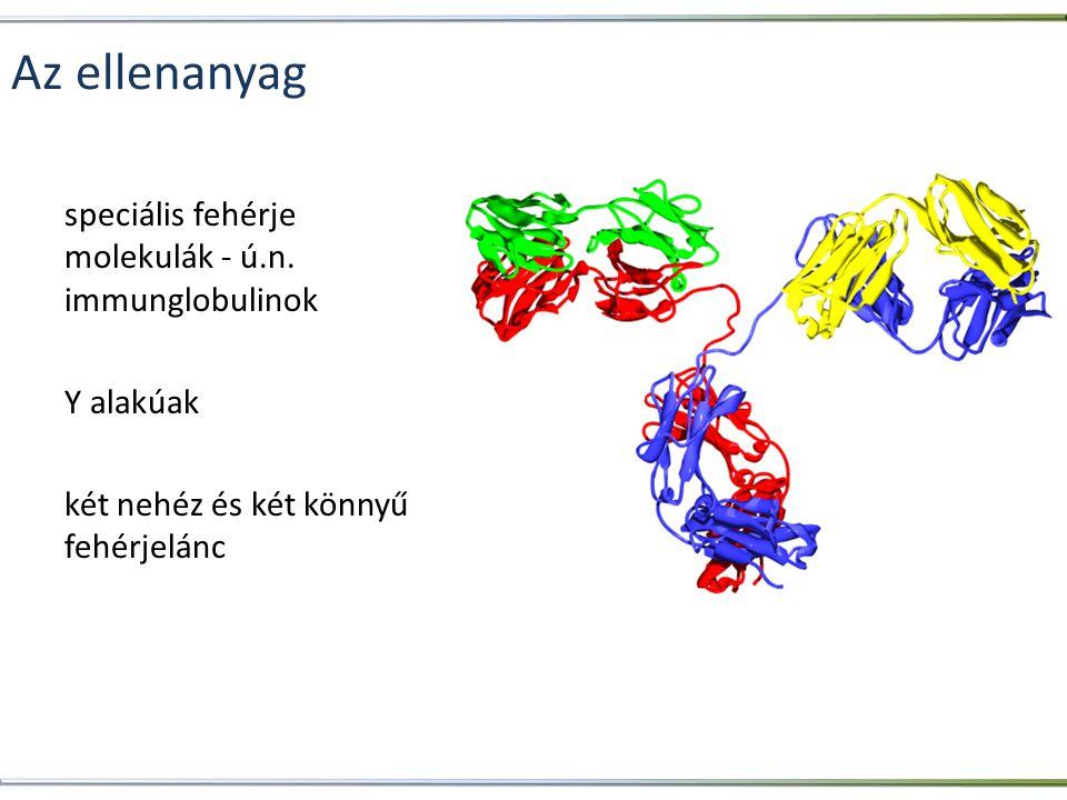 Az ellenanyag speciális fehérje molekulák - ú.n. immunglobulinok Y alakúak két nehéz és két könnyű fehérjelánc